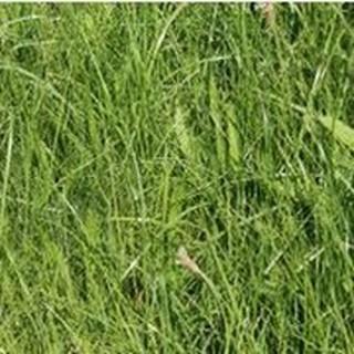 plantain améliore valeur prairies